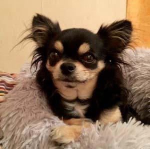 LE PETIT DAN - Chihuahuas